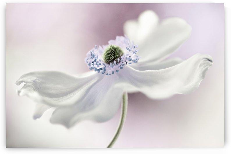 Anemone breeze by 1x