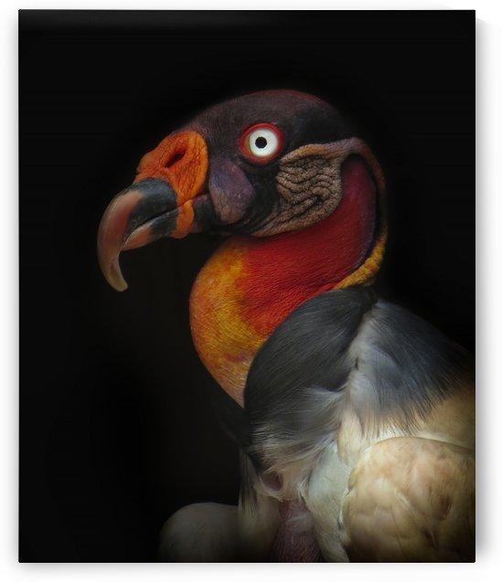 King vulture-Sarcoramphus papa by 1x