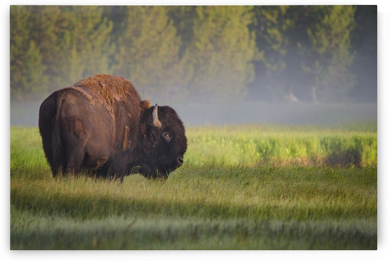 Bison in Morning Light by 1x