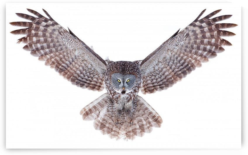 Power - Great Grey Owl by 1x