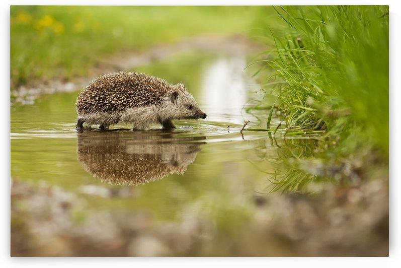 Hedgehog by 1x