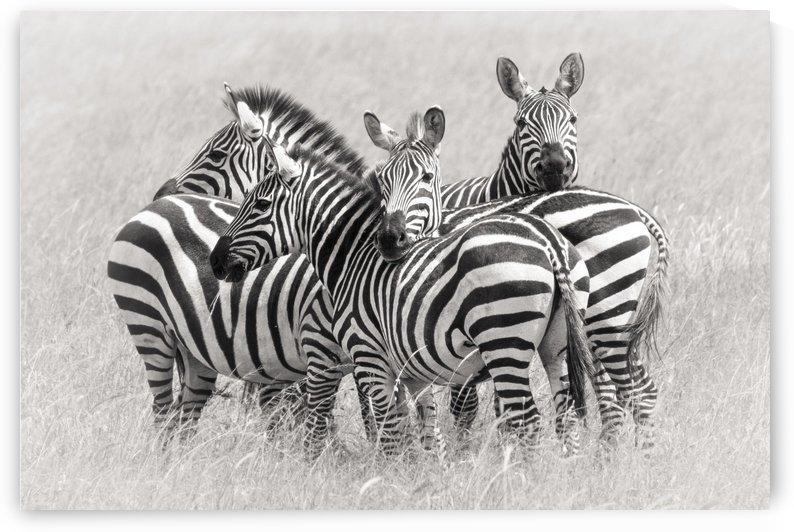 Zebras by 1x