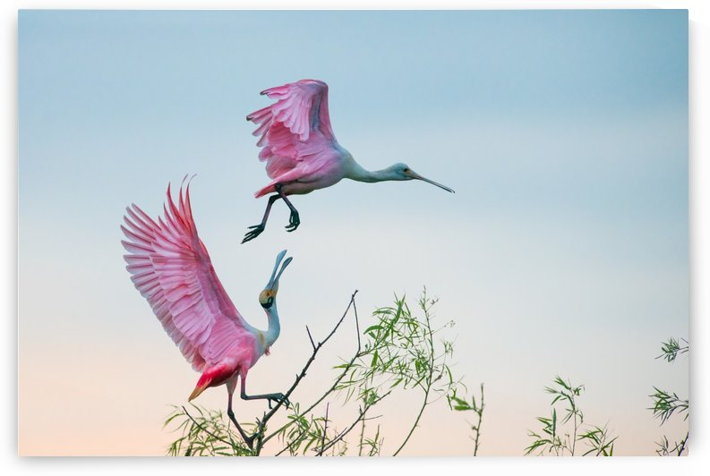 Rosy pair (Roseate Spoonbills) by 1x