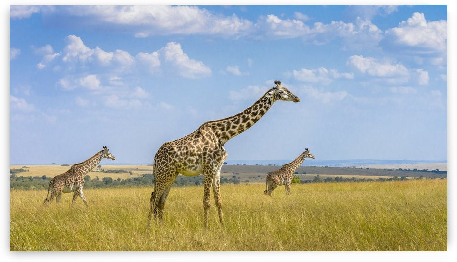 Trio Giraffes by 1x