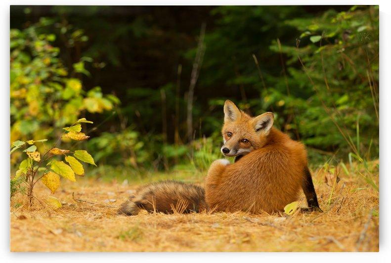 RedFox, Algonquin Park by 1x