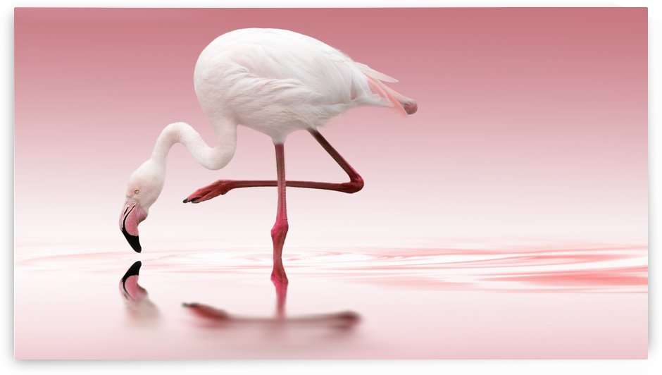 Flamingo by 1x