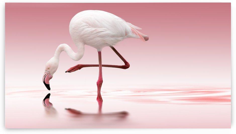 Flamingo by 1x