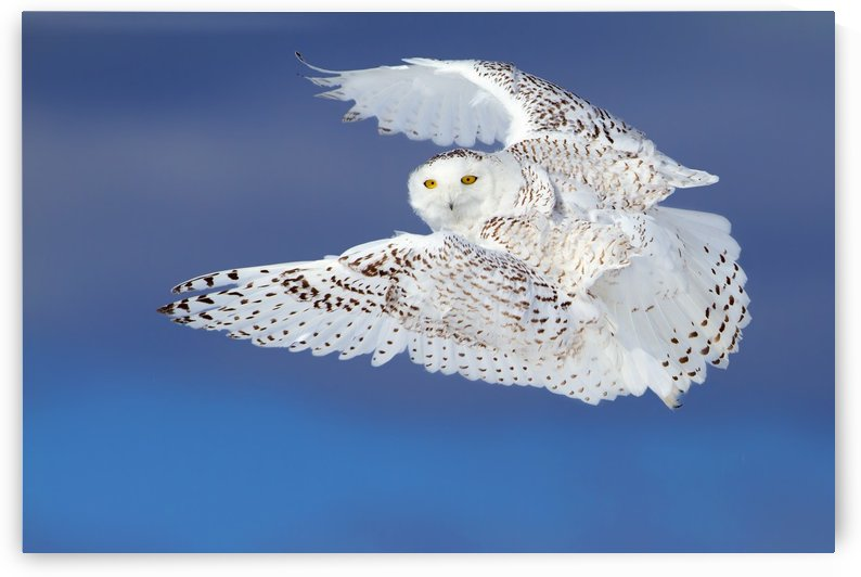 Flight of the Snowy - Snowy Owl by 1x