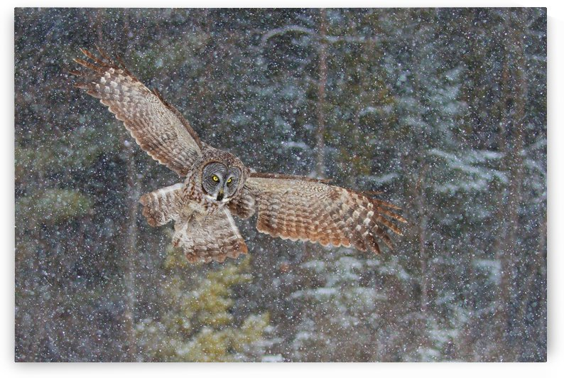 Great Grey Owl in Snowfall by 1x