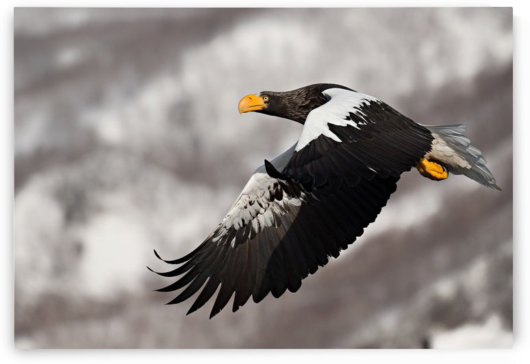 Steller's sea eagle by 1x
