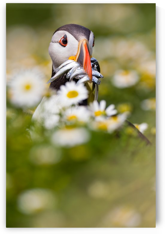 Puffin & daisies by 1x