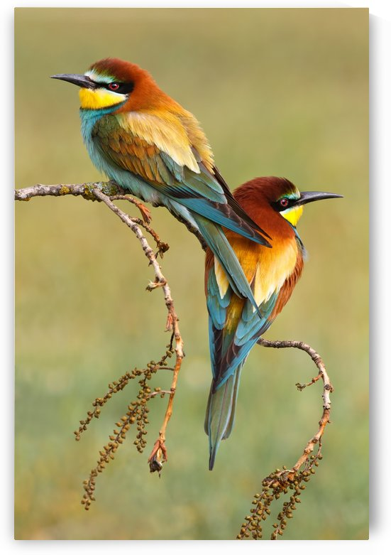 Bee-eaters in love by 1x