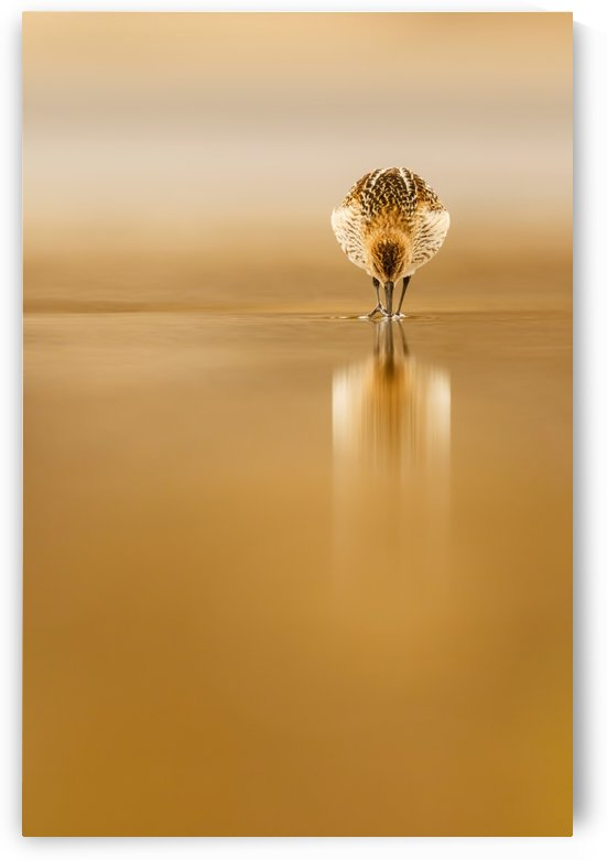 Dunlin reflection by 1x
