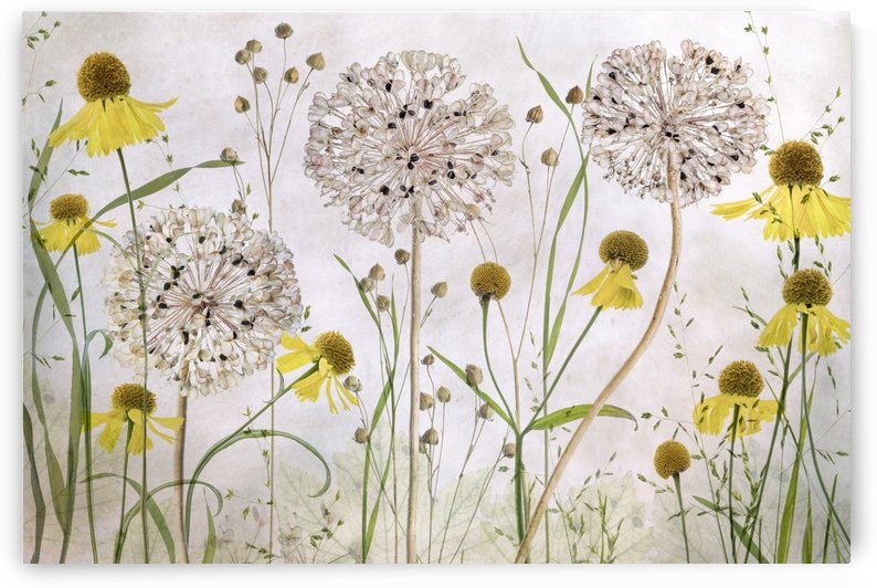 Alliums and heleniums by 1x