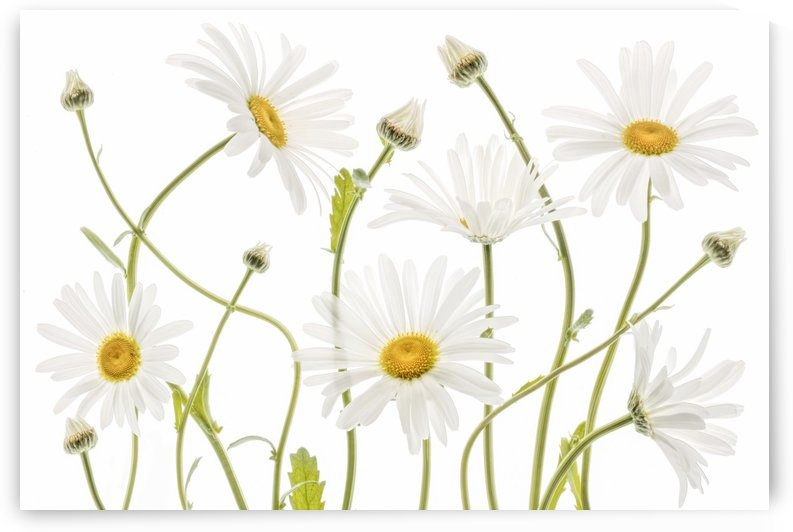 Ox eye Daisies by 1x