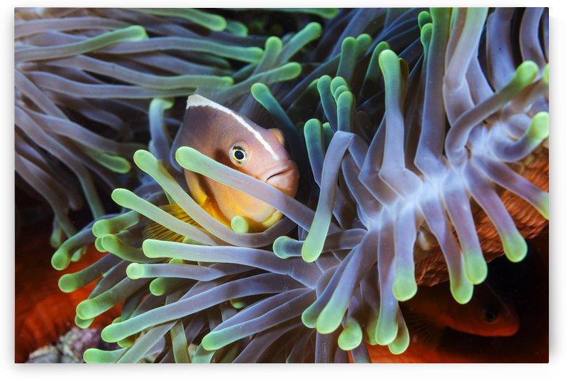 Clownfish by 1x