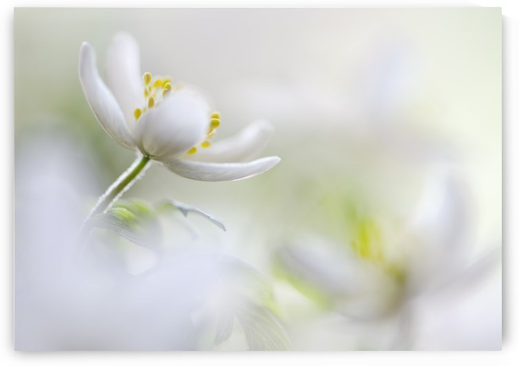 White Spring by 1x