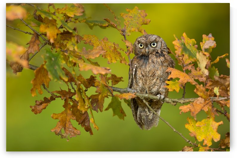 Eurasian scops owl by 1x
