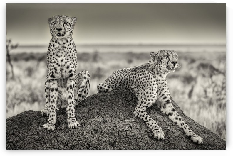 Two Cheetahs watching out by 1x