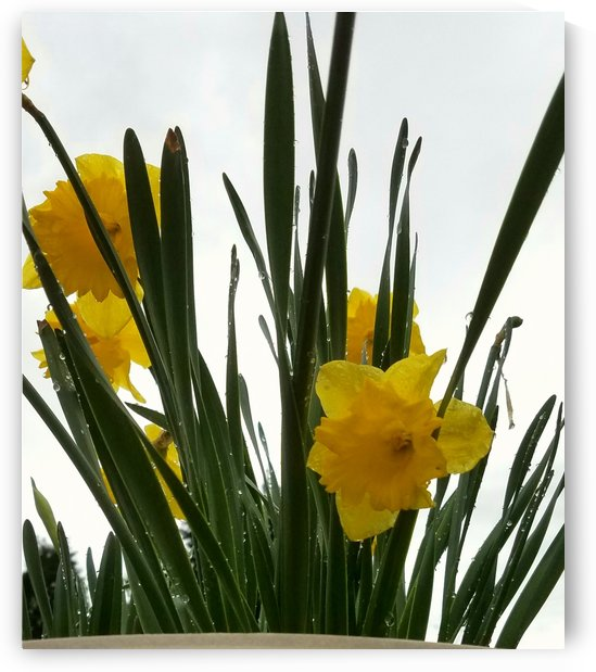 Just a daffodil day! by Kimberlee Ingram