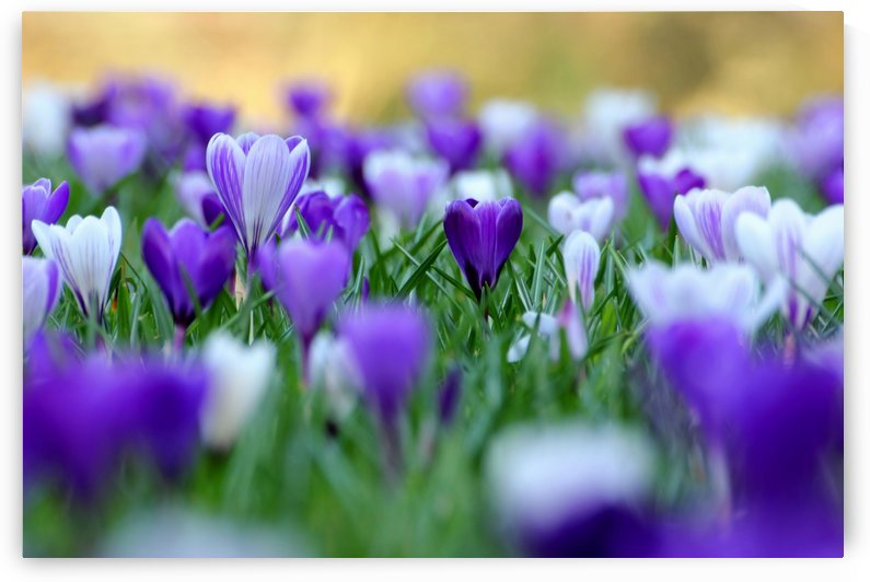 Amongst the crocuses by Andrew Turner