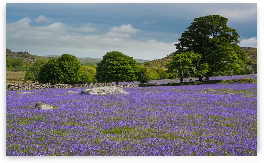 Emsworthy bluebells by Andrew Turner