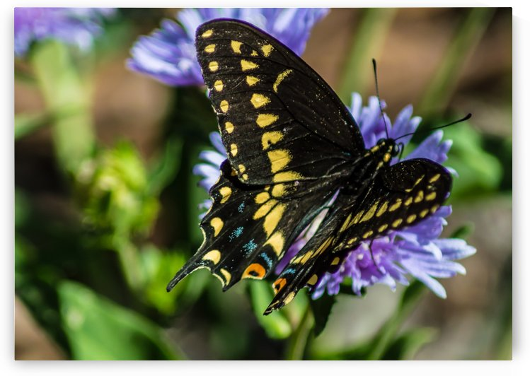 Black Swallowtail  by Melody Rossi
