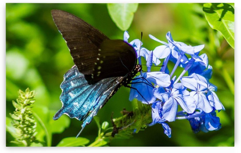 Pipevine Swallowtail  by Melody Rossi