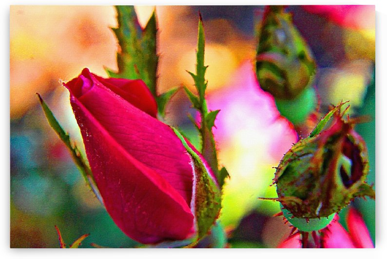 Rosebud by Don  Baker