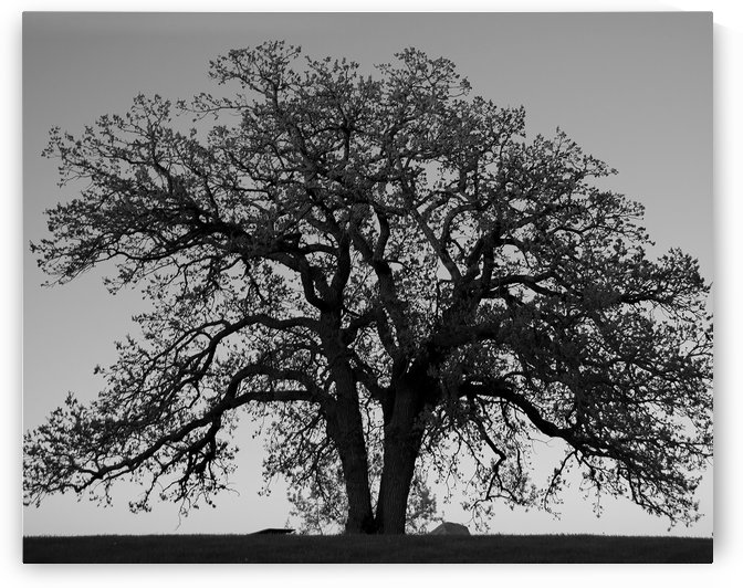 The Wishing Tree - B&W by G  Stevenson