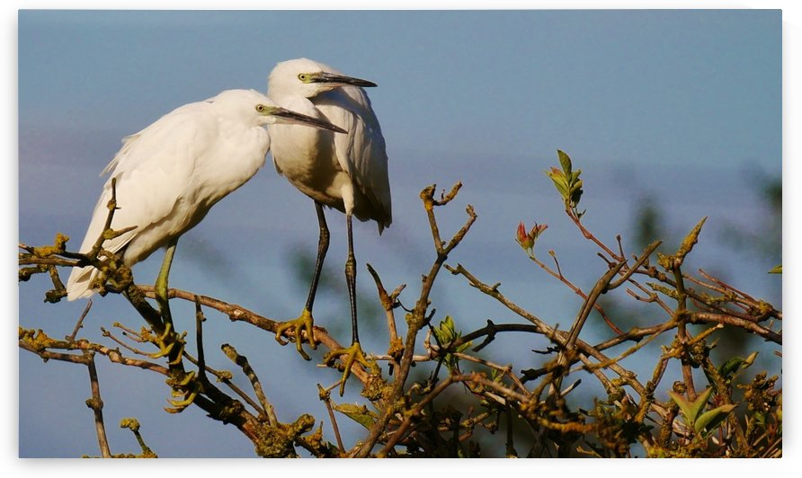 Little Egret lookouts by Andy Jamieson