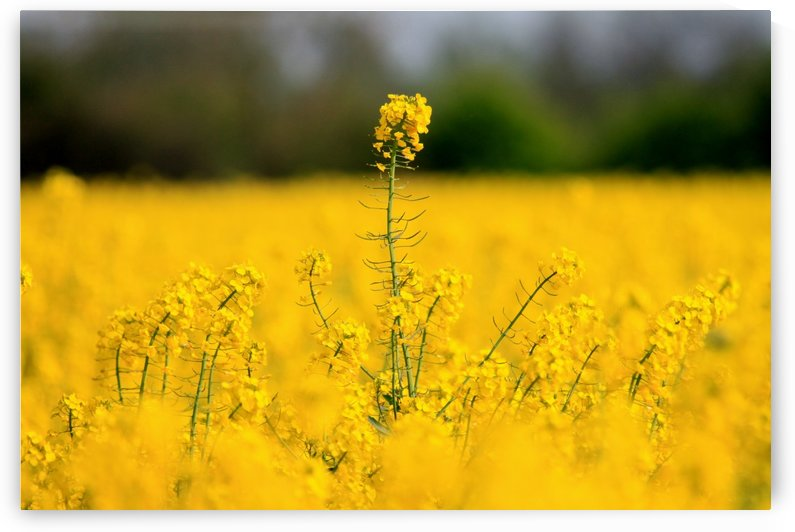 Above all yellow by Andy Jamieson