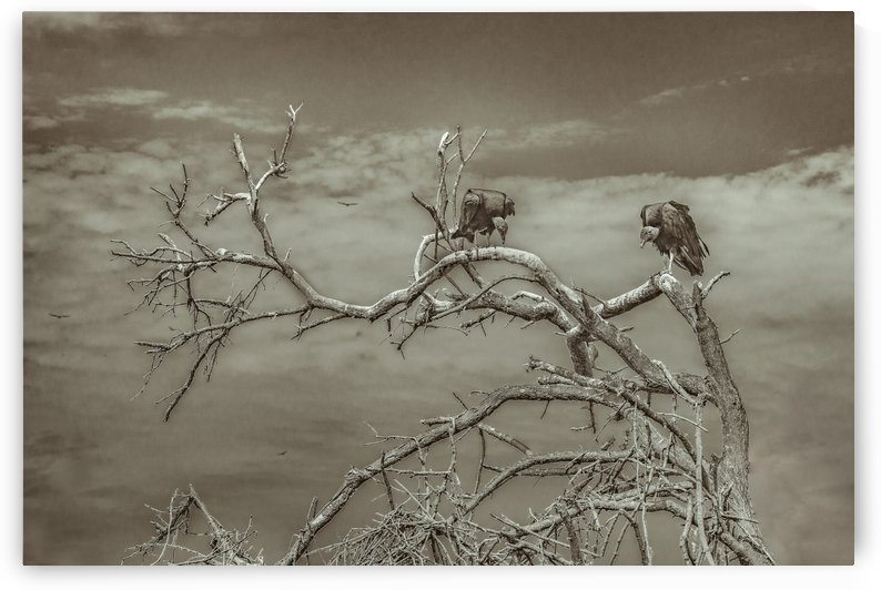 Vultures at Top of Leaveless Tree by Daniel Ferreia Leites Ciccarino