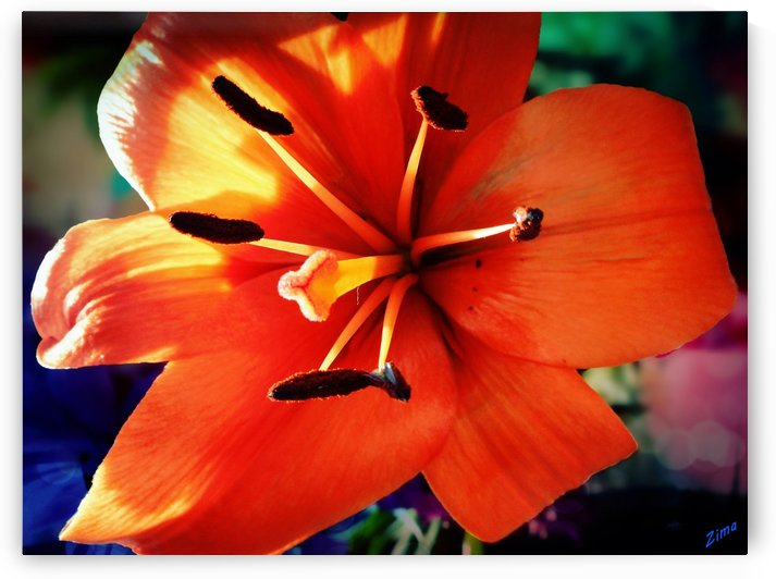 Orange Lily by Karen zima