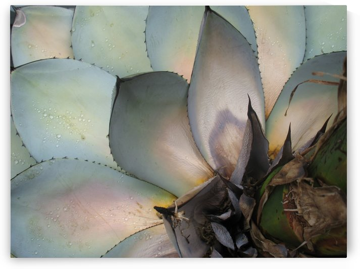 Succulents Plants Leaves Macro Fat Plants Close Up by StockPhotography