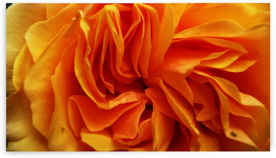 Orange Flower Petals Macro Close Up Golden Yellow by STOCK PHOTOGRAPHY