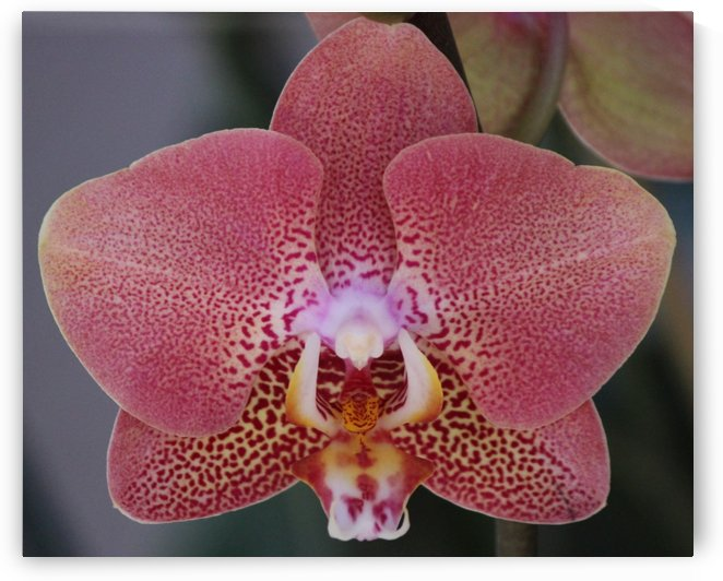 orchid1 by JC Photography