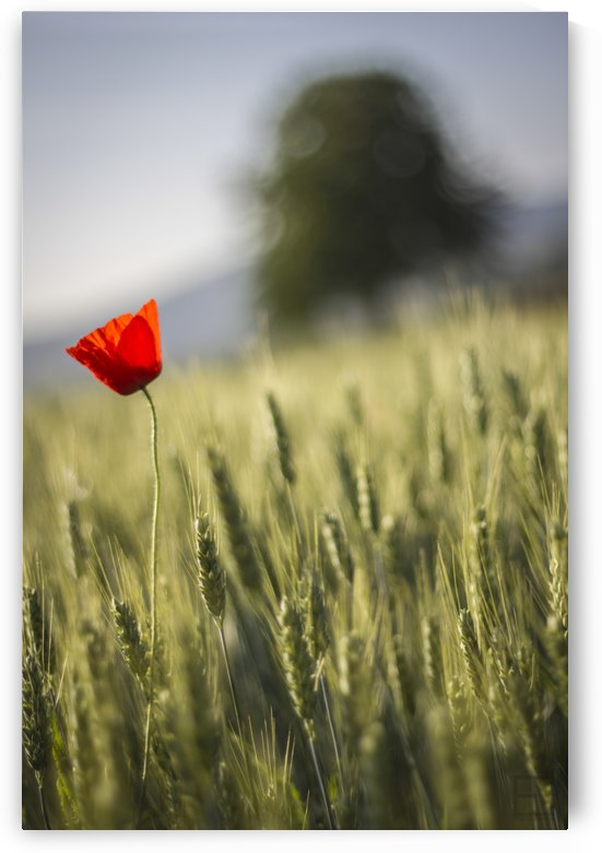 poppy by Emilien Gass