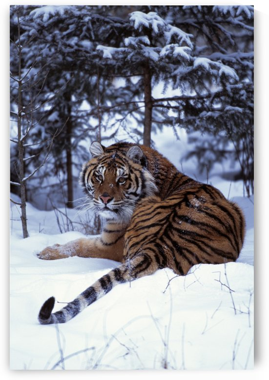 Siberian Tiger Lying On Mound Of Snow In Forest by PacificStock