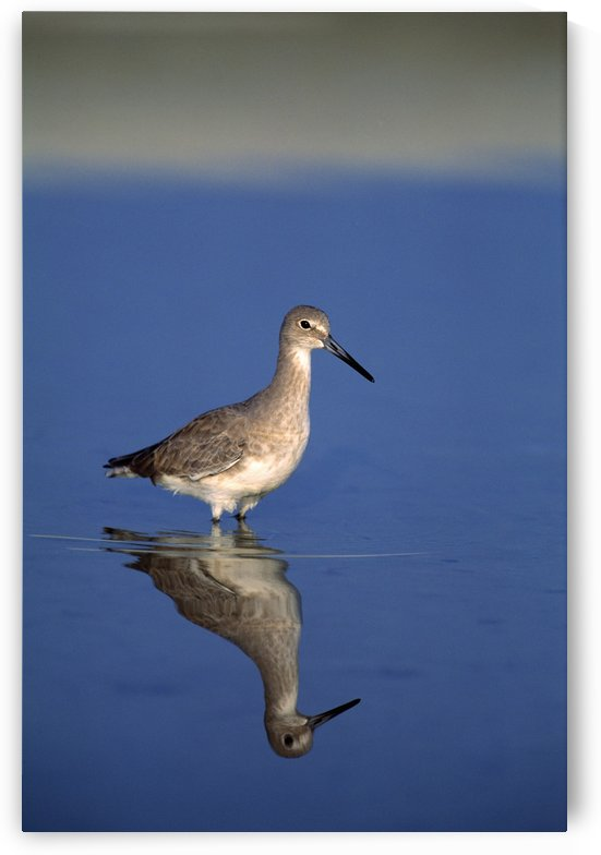 Willet Shorebird by PacificStock