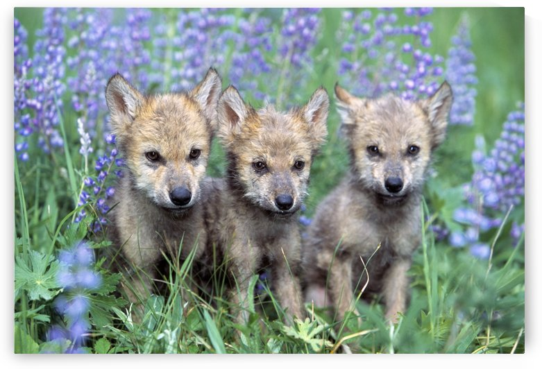Three Wolf Pups by PacificStock