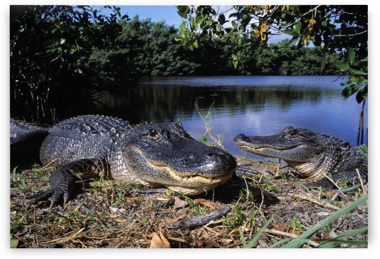 American Alligators by PacificStock