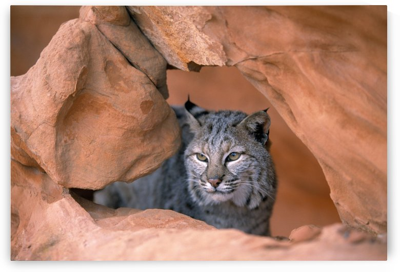 Bobcat In Sandstone Formation by PacificStock