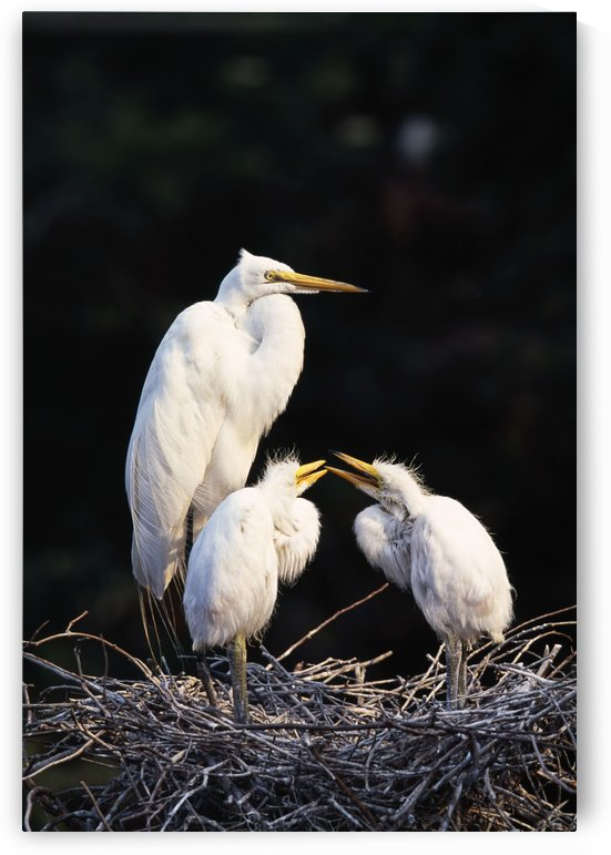 Great Egret In Nest With Young by PacificStock
