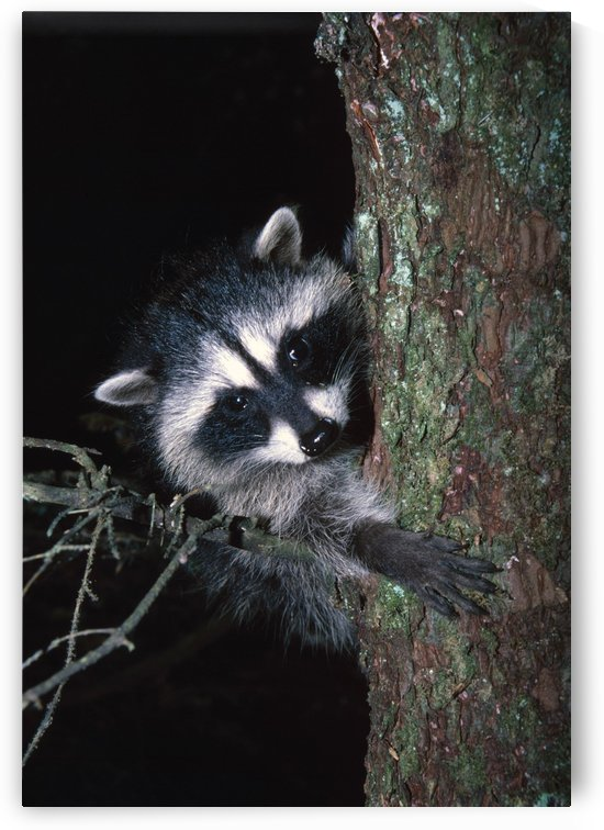 Raccoon In Tree by PacificStock