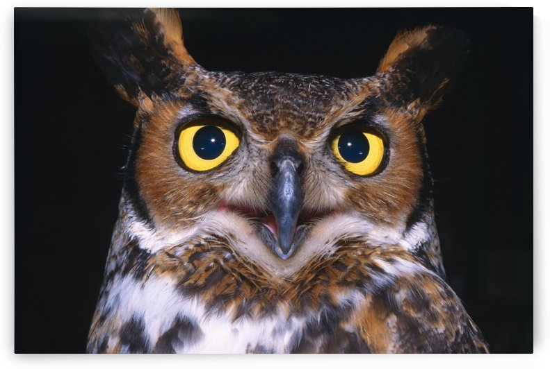 Portrait Of Great Horned Owl by PacificStock