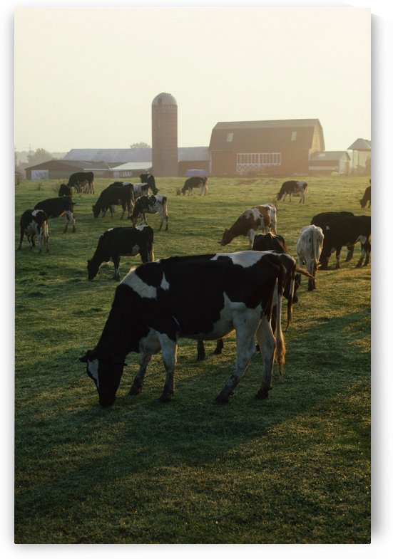 Dairy Cattle Grazing by PacificStock