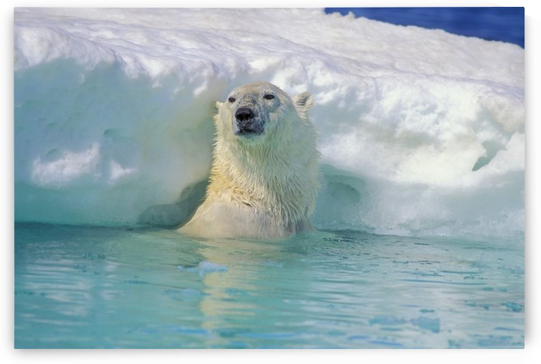 Polar Bear In Water by PacificStock