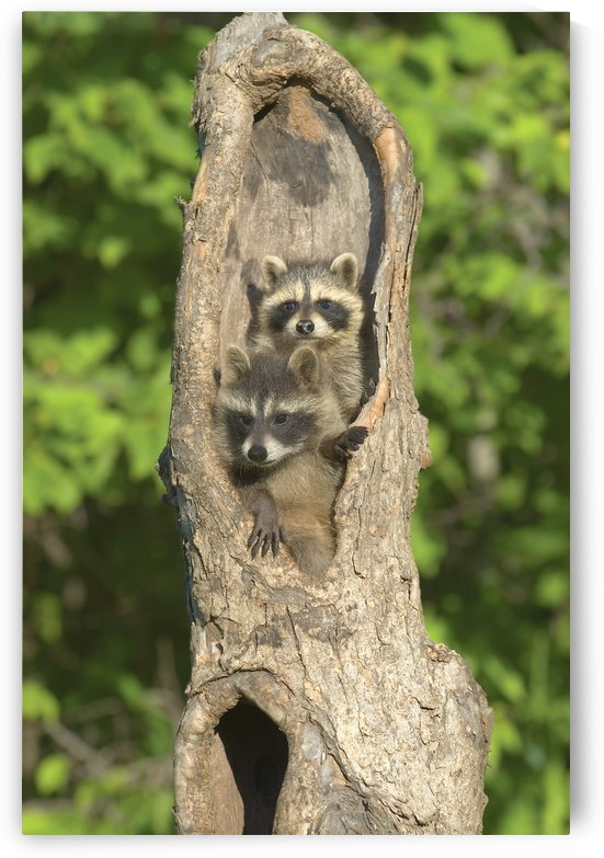 Baby Racoon's In Hollow Tree by PacificStock