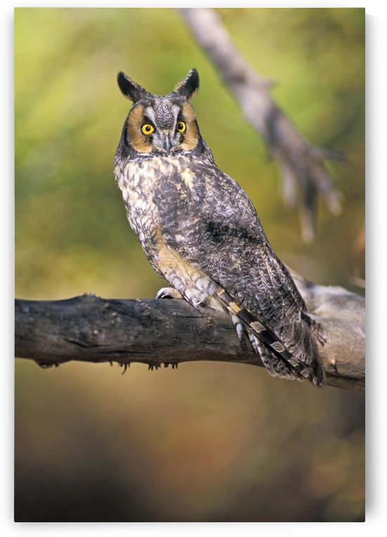 Long Eared Owl On Branch by PacificStock